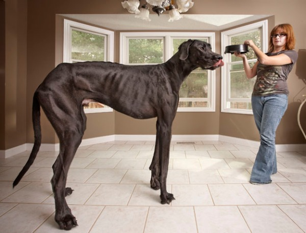 Tallest Dog Living Breaks Guiness Book of World Records!!!???